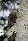Wildlife: Porcupine
