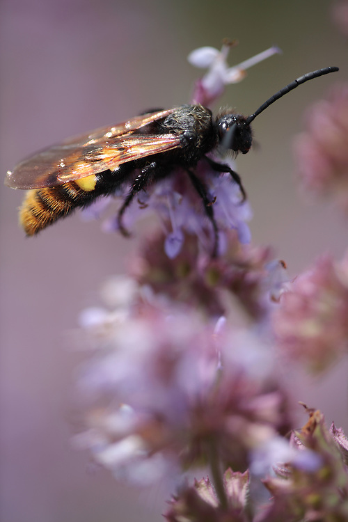 Giant or Mammoth wasp, Megascolia flavifrons, (Hymenoptera, Scolioidea, Scoliidae). Male.<br /> Stenje region, Lake Macro Prespa (850m) <br /> Galicica National Park, Macedonia, June 2009<br /> Mission: Macedonia, Lake Macro Prespa /  Lake Ohrid, Transnational Park<br /> David Maitland / Wild Wonders of Europe