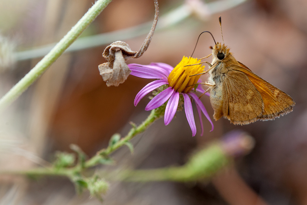 Ochlodes sylvanoides (Woodland Skipper) ♀ at Grizzly Flat, Angeles NF, Los Angeles Co, CA, USA, on California aster 12-Sep-15