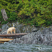 Spirit Bear standing on log along BC coastline;  British Columbia in wild.