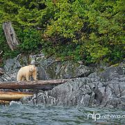 Spirit Bear standing on log along BC coastline;  British Columbia in wild.