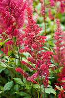 Astilbe arendsii 'Red Admiral'