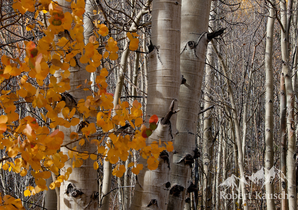 Aspen trunks and leaves