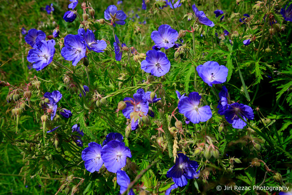 UK ENGLAND WILTSHIRE 26JUN08 - Violets blossom in a field near the river Kennet near Avesbury in rural Wiltshire, western England...jre/Photo by Jiri Rezac / WWF UK..© Jiri Rezac 2008..Contact: +44 (0) 7050 110 417.Mobile:  +44 (0) 7801 337 683.Office:  +44 (0) 20 8968 9635..Email:   jiri@jirirezac.com.Web:     www.jirirezac.com..© All images Jiri Rezac 2008 - All rights reserved.