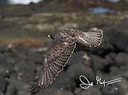 A Galapagos hawk takes flight on Fernandina island in the Galapagos archipelago of Ecuador.