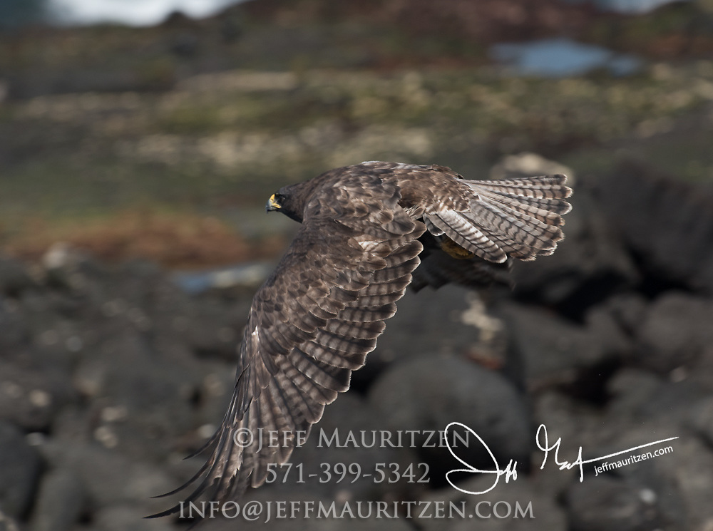 A Galapagos hawk takes flight on Fernandina island in the Galapagos archipelago of Ecuador.
