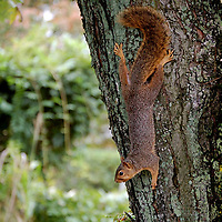 Fox Squirrel on backyard tree.
