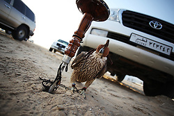 Before competitions begin, a falcon with a hood covering its eyes and a leash around its legs is tied to a stake in the ground beside its owner's Land Cruiser.