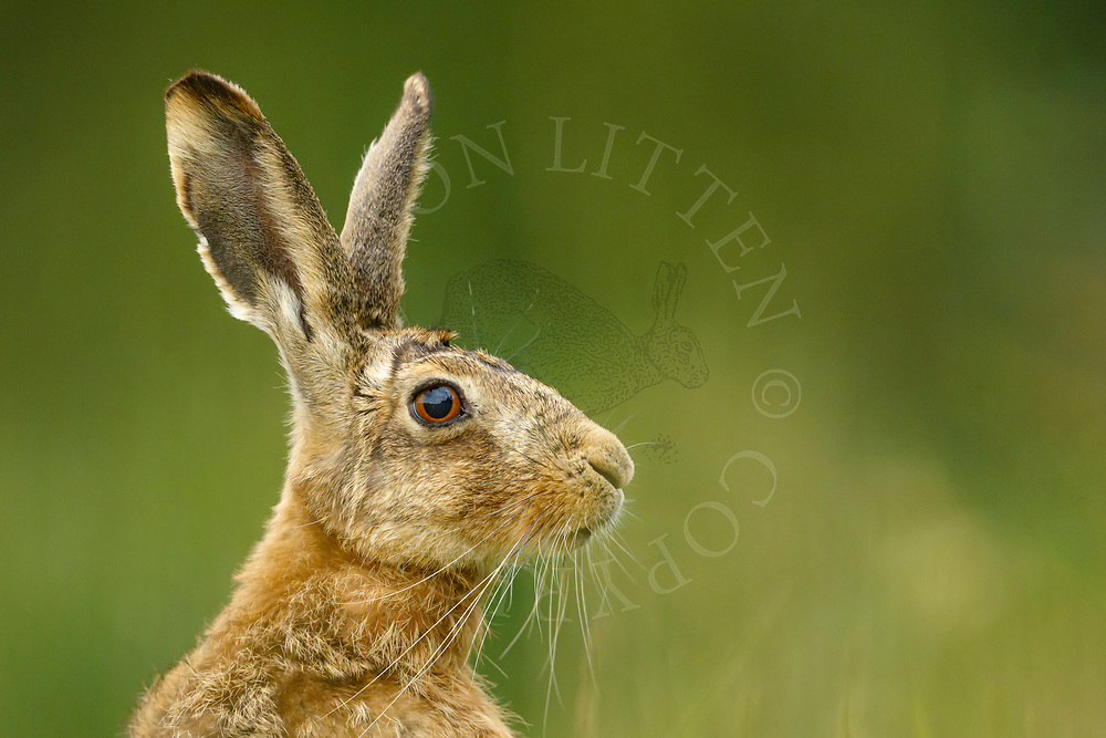 European Hare (Lepus europaeus) adult close up of head, South Norfolk, UK. May