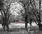 """A meadow filled with white flowers is viewed through the trees in black & white with an old red trailer highlighted in color pop. NOTE: Click """"Shopping Cart"""" icon for available sizes and prices. If a """"Purchase this image"""" screen opens, click arrow on it. Doing so does not constitute making a purchase. To purchase, additional steps are required."""