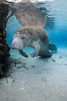 Florida manatee, Trichechus manatus latirostris, a subspecies of the West Indian manatee, endangered. A manatee rests near submerged tree roots with another resting in the background. A few bream, Lepomis spp., are present. Vertical orientation with blue water and reflection. Three Sisters Springs, Crystal River National Wildlife Refuge, Kings Bay, Crystal River, Citrus County, Florida USA.