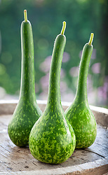 Lagenaria siceraria. Dipper short handled mottled gourd