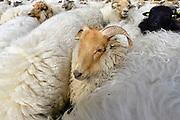 Nederland, Groenekan, 30-3-2017Schaapskudde. een drents schaap met hoorns.Foto: Flip Franssen