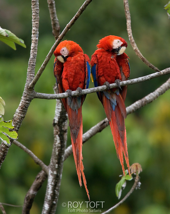 Pair of scarlet macaws (Ara macao) perched side by side on branch.