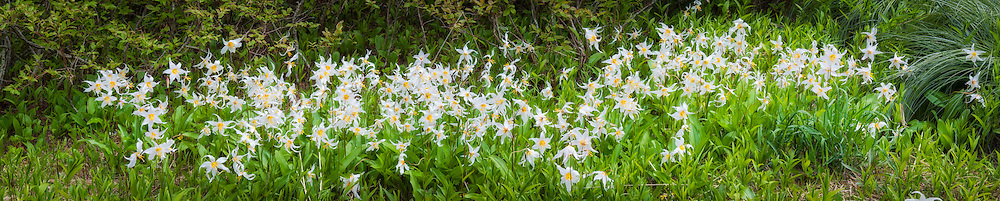 One of the most beautiful native lilies found in North America, this combined image of several large images stitched together is of a big clump of avalanche lilies in full bloom on Larch Mountain in Oregon. This massive print is at full natural size an enormous 10.75 feet x 2.1 feet (3.3m x 0.66m) and was created from five images.