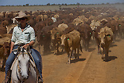Brunette Downs Cattle Station is situated on the Barkley tablelands in Australia's Northern Territory. One of Australia's largest cattle stations. Mustering cattle to a drafting yard..