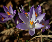 Purple Crocus Flowers. Winter Backyard Nature in New Jersey. Image taken with a Leica CL camera and 60 mm f/2.8 lens (ISO 100, 60 mm, f/4, 1/1600 sec).