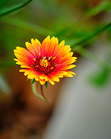 Blanket Flower. Image taken with a Fuji X-H1 camera and 200 mm f/2 OIS lens + 1.4x teleconverter