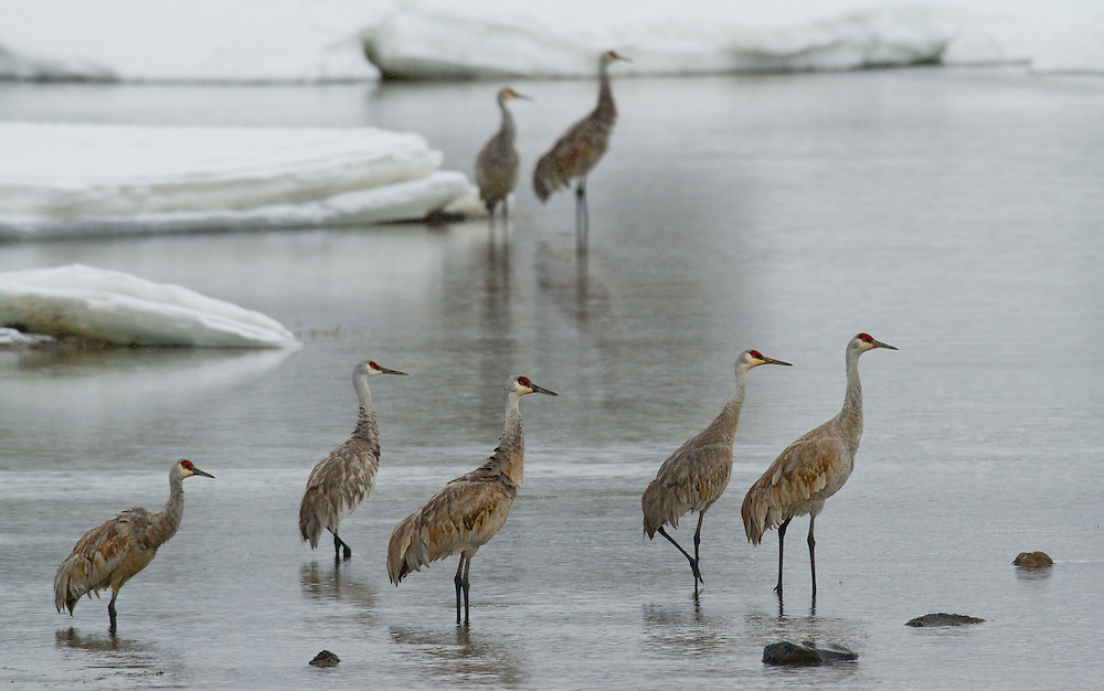 As winter comes to a close, flocks of migratory sandhill cranes arrive in Yellowstone Park. One of their favorite gathering places is near Alum Creek in Hayden Valley, where this small group was observed.