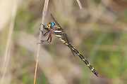 Arrowhead Spiketail.Cordulegaster obliqua.female.Angelina National Forest.near Boykin Springs Lake.Jasper Co., Texas.21 April 2010