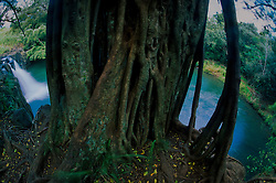 Banyan (Ficus benghalensis) Tree at Kipu Falls, Kauai, Hawaii, US