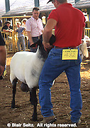 York County, PA. Fair, Sheep Judging