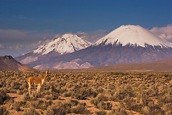 A guanaco (lama guanaco), a camelid native to South America, stands on the altiplano in front of the snow-capped Volcano Parinacota,Chilean Andes, Chile,South America