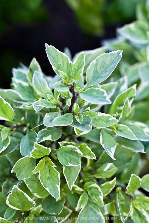 Pesto Perpetuo Basil (Ocimum basilicum citriodorum 'Pesto Perpetuo').