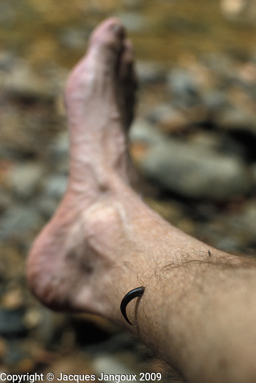 Leech on photographer's leg in rainforest at Gunung Mulu National Park, Malaysia, Borneo, Sarawak.
