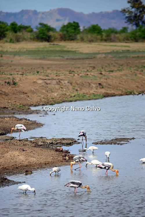 Painted storks (Mycteria leucocephala) in the water. Udawalawe National Park, on the boundary of Sabaragamuwa and Uva Provinces, in Sri Lanka.