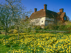 Looking towards the house at Great Dixter in Spring. Daffodils and blossom in the orchard meadow
