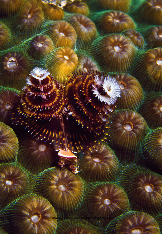 Horned Feathered Christmas Tree Worm (Spirobranchus giganteus) Bonaire