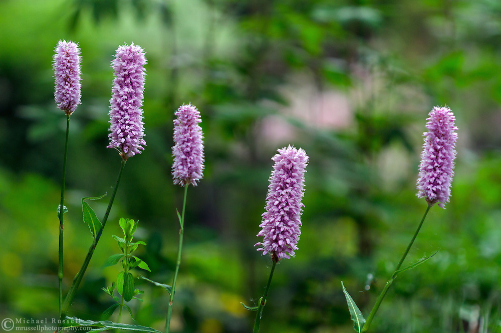 Flowers from the herb Greater Burnet (Sanguisorba sp.) in a backyard herb garden