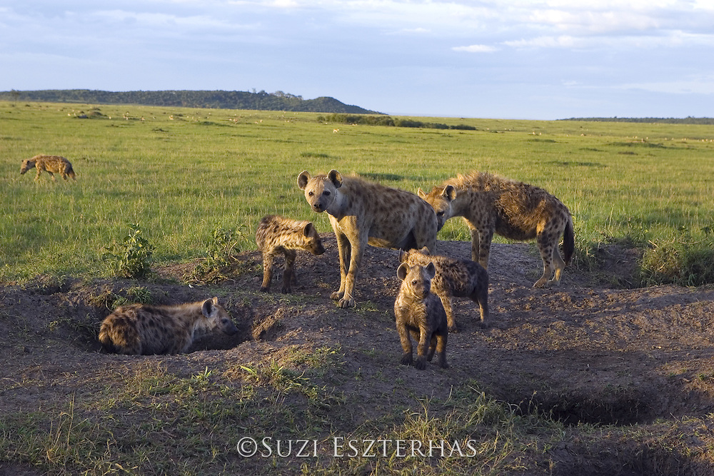 Spotted Hyena<br /> Crocuta crocuta<br /> Adult females and cubs at communal den at sunset<br /> Masai Mara Conservancy, Kenya