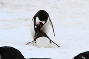 mating Gentoo penguins (Pygoscelis papua). Gentoo penguins grow to lengths of 70 centimetres and live in large colonies on Antarctic islands. They feed on plankton, fish and cephalopods (such as squid), and have an elongated beak that allows them to take larger prey than any other penguin. Photographed at Neko Harbour, Antarctica