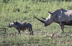 "EXCLUSIVE: An epic clash of the titans has been caught on camera which saw one angry rhino mum scare off 15 ELEPHANTS Carpenter Martin Meyer was visiting a national park in South Africa when he spotted a rhino mum with her young calf. Martin has been visiting the park for 20 years on and off and often drives there for a 'builder's break' between jobs. But never in all the years he's been visiting had he seen anything like this before, when one rhino mum faced-off against a whole herd of elephants. Martin's amazing images were taken around 4.20pm when he came across the brewing confrontation. Martin, who is not naming the park to protect the rhino mother, said: ""Armed with an incredibly beautiful horn and her motherly instinct the mother rhino stood her ground and protected the calf, although she was completely outnumbered by the elephants. ""A herd of about 15 elephants consisting of a matriarch and a few youngsters and a few sub adult bulls were approaching and going to cross the path of the mum and the calf. ""The rhino mum looked intently in their direction and the ellies seemed oblivious to her and the calf and kept encroaching on her personal space. ""When they were around 20 metres away from her position she exploded into a sprint with the baby following and ran directly towards the elephants sending them scattering in all directions, with a massive cloud of dust as a result. ""After recovering from the initial shock the elephant herd regrouped and aligned themselves next to one another to slowly move closer to the rhino mum, almost taunting her. Some of the young bulls even moved around and circled them from behind."" More than three minutes of stand-off followed as the stare down continued between the rhino mother and the matriarch of the ellies. Martin said: ""My adrenaline was pumping and I was holding my breath for what might happen next, my wife always jokes with me that I stop breathing when I see special stuff in the bush. ""As the d"