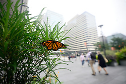 An a southbound journey a monarch butterfly finds a spot to rest at planter located at Dilworth Park, in Philadelphia  PA, on September 11, 2018.
