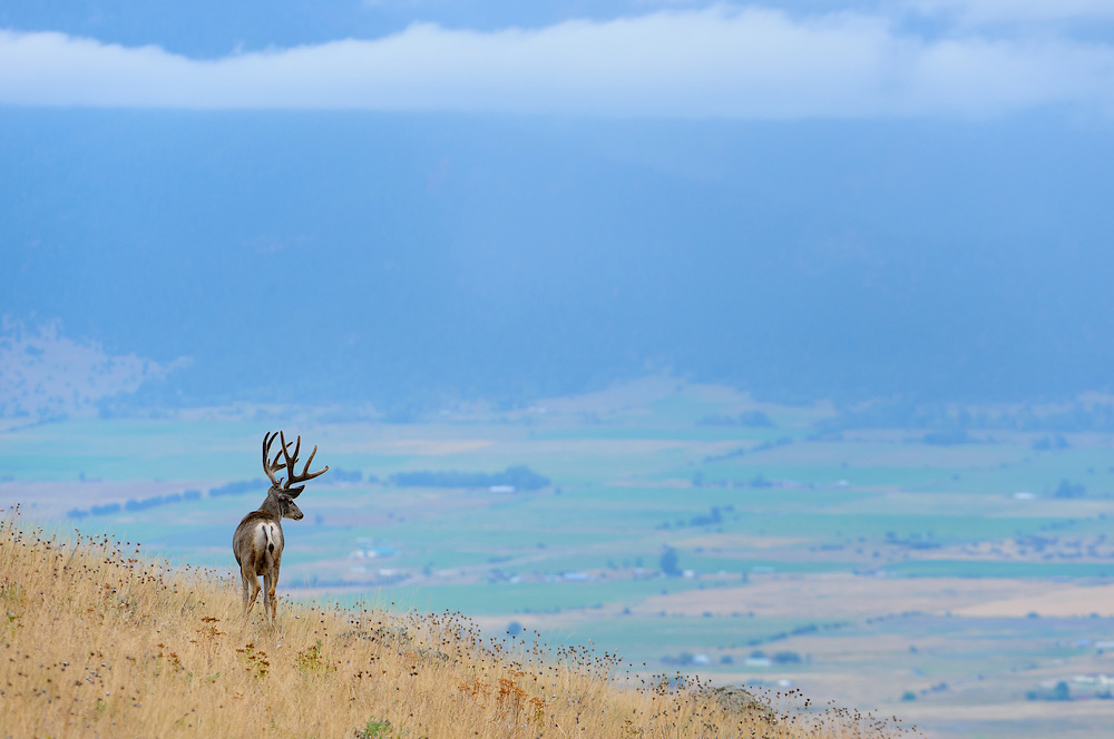 A mule deer buck high above a Montana valley floor, Western Montana