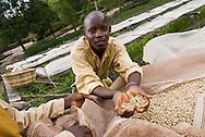 Récolte du café dans la région de Kayanza, au nord du Burundi. Un ouvrier montre les grains de café pendant le séchage.