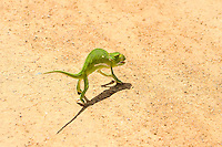 Chameleon on the road. Kruger National Park, the largest game reserve in South Africa.