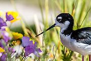Black-necked Stilt, Orange County, California, North America