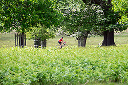 © Licensed to London News Pictures. 03/06/2015. Richmond, UK. A cyclist cycles through the park. Deer gather beneath trees in the shade in Richmond Park today 3rd June 2015. Temperatures are set to get highr as the week progresses. Photo credit : Stephen Simpson/LNP