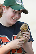 Middletown, New York -New York State Department of Environmental Conservation volunteer Melinda Copeland holds a Canada goose gosling at Fancher-Davidge Park on June 23, 2014. The DEC herded the geese into a pen and then banded the geese that did not already have bands. The gosling Copeland is holding was too young to be banded. Geese are banded in late June and early July because they are molting and unable to fly.  Banding helps scientists learn about the birds' migration, feeding patterns and other behaviors.