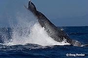 humpback whale, Megaptera novaeangliae, peduncle throw, Kona Coast of Hawaii Island, the Big Island ( Central Pacific Ocean )