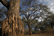 Winterthorn trees at the end of the dry season. Chongwe River Camp. Lower Zambezi National Park. Zambia. Africa.