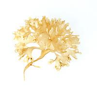 Chondrus crispus (Irish Moss) bleached by freezing temperatures; Bracy Cove, Maine