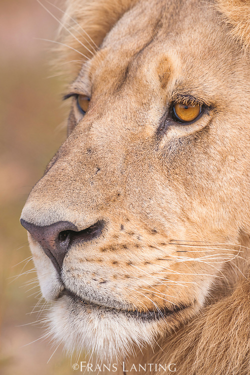 Lion portrait, Panthera leo, Okavango Delta, Botswana