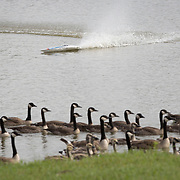 A remote controlled boat, operated by John Brunjes, a wildlife biologist with the Kentucky Department of Fish and Wildlife Resources, is used to push a group of Canada geese towards shore where a group of volunteers corralled them to be banded at Jacobson Park in Lexington, Ky., on Tuesday July 1, 2014. Around 475 geese were banded at the park and at a farm in Fayette County as part of a population study. Under the direction of the Department of Fish and Wildlife, each year at this time in various locations around the state, when the geese are molting and unable to fly, they are rounded up, banded, their genders identified and quickly released. Photo by David Stephenson