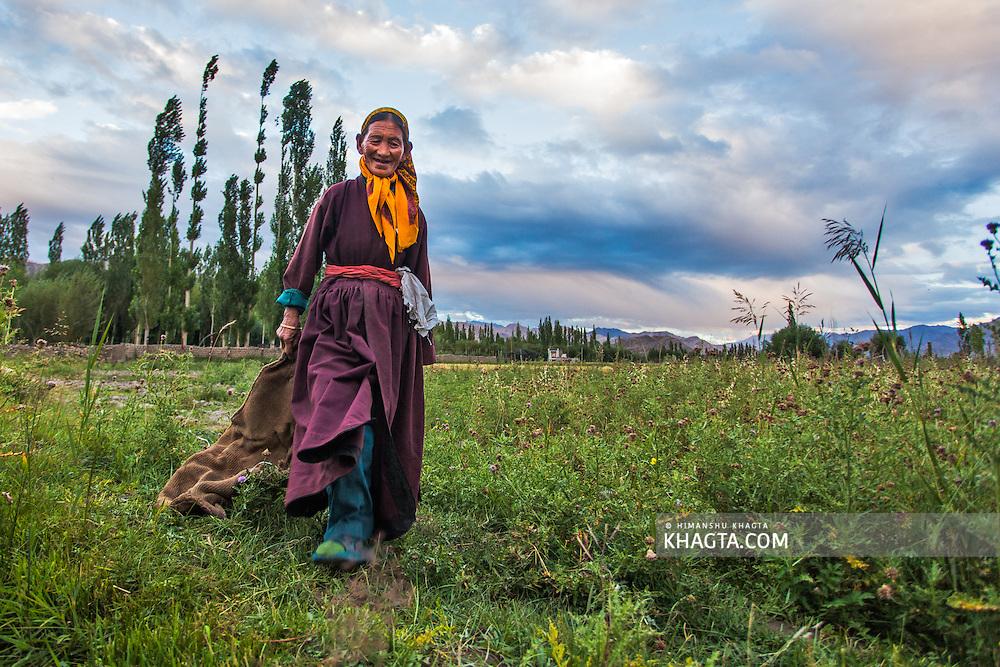 An old lady farmer in a farm in Thiksay, Ladakh