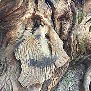 Face in Bark Detail, China Camp State Park, San Rafael, California, US